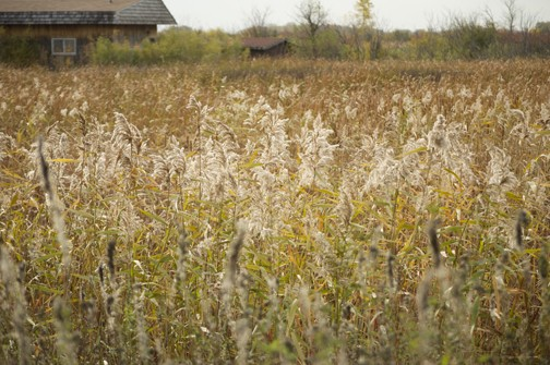 Phragmites - Giant Reed Grass