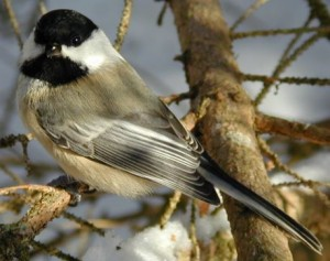 Black_capped_chickadee_cp
