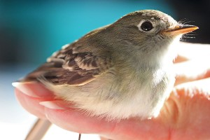 04-flycatcher